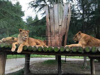 群馬サファリパークのライオンの夫婦 - No.564513