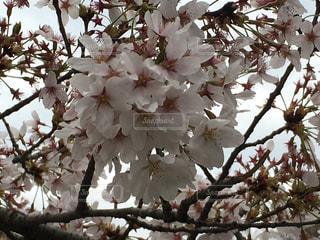 近くの公園で桜咲く - No.1021523