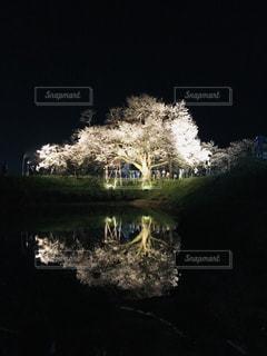一本桜の写真・画像素材[2214211]