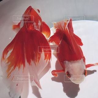 綺麗な金魚の写真・画像素材[1213485]