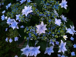 花の写真・画像素材[566265]