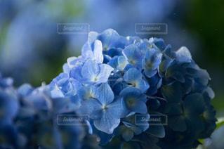 紫陽花の写真・画像素材[567541]