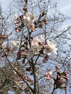 桜の写真・画像素材[567325]