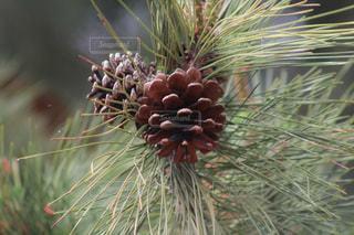 松の木の写真・画像素材[3580884]