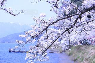 桜の写真・画像素材[568039]