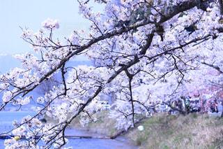 桜の写真・画像素材[568040]