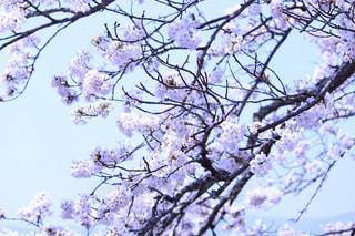 桜の写真・画像素材[568041]
