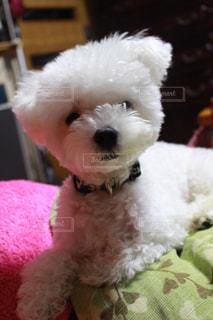 犬の写真・画像素材[568056]