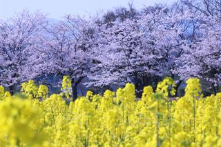 No.571036 桜