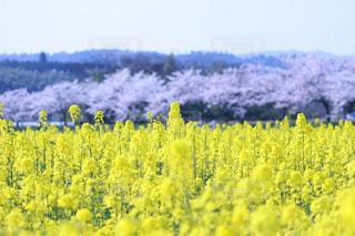 No.571038 桜
