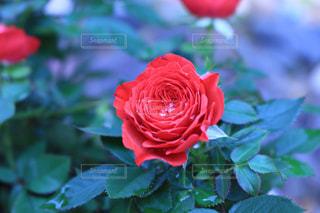 花の写真・画像素材[572855]