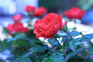 花の写真・画像素材[572856]