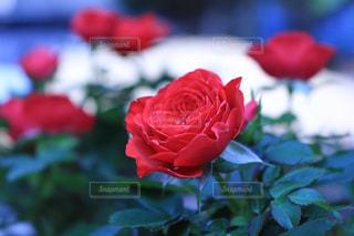 花の写真・画像素材[572857]