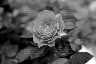 花の写真・画像素材[574466]
