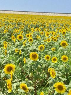 フィールド内の黄色の花の写真・画像素材[1328275]