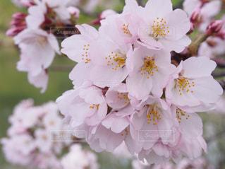 桜 - No.570139