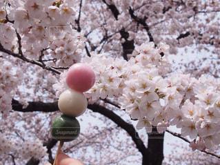 桜の写真・画像素材[570140]