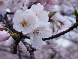 No.570141 桜