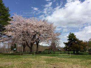 No.570712 桜
