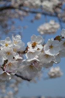 No.570825 桜