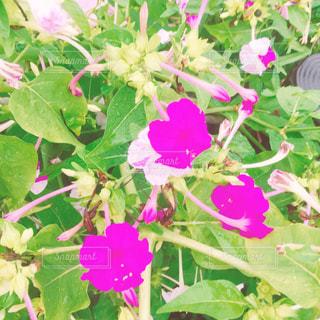 花の写真・画像素材[661429]