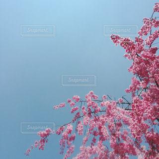 空と桜の写真・画像素材[1187003]