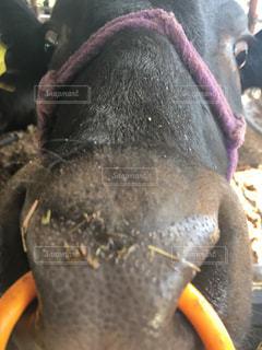 牛の写真・画像素材[582694]