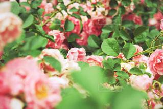 花の写真・画像素材[585416]