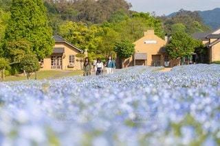 ネモフィラ花畑の写真・画像素材[2142755]