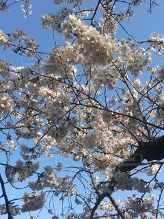 栗林公園の桜の写真・画像素材[1092252]
