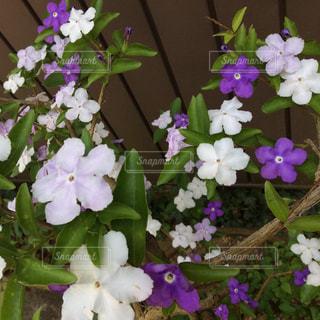 紫の花の写真・画像素材[571750]