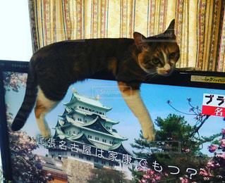 テレビの上でくつろぐ猫の写真・画像素材[857145]