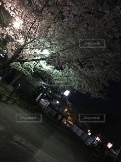 No.577842 夜桜