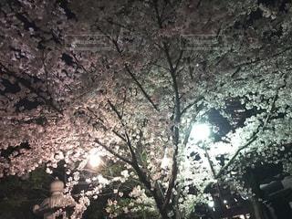 No.577847 夜桜