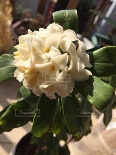 白い花の写真・画像素材[574426]