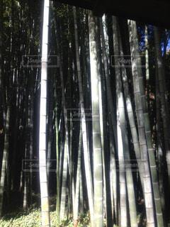 竹.竹林.バンブー.まっすぐ.風景の写真・画像素材[573102]