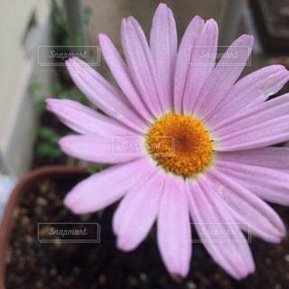 花 綺麗 可愛い ピンクの写真・画像素材[572307]