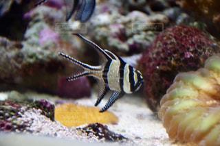 魚の写真・画像素材[611685]