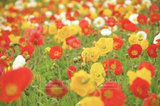 花畑の写真・画像素材[1169068]