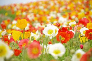 花畑の写真・画像素材[1169069]