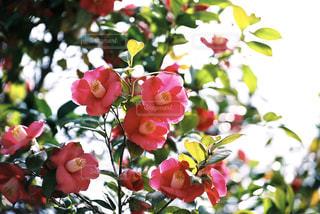 椿の 花の写真・画像素材[1185116]