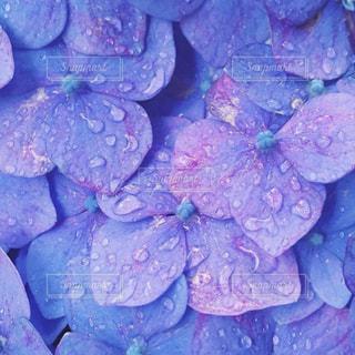 紫陽花の写真・画像素材[574041]