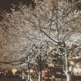 No.574395 桜