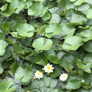 そぼ降る雨と蓮の花の写真・画像素材[611667]