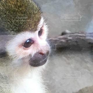 猿の写真・画像素材[576259]