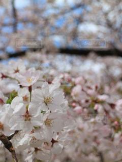 花の写真・画像素材[576264]