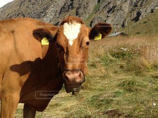 茶色の牛の写真・画像素材[762044]