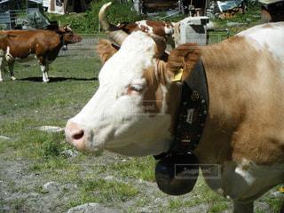 スイスの牛 - No.1265960