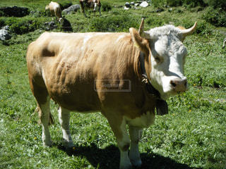 スイスの牛の写真・画像素材[1265961]
