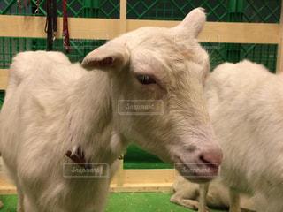 牛は、フェンスの前に立っての写真・画像素材[864823]